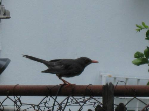 Red-Legged Thrush: To infinity and beyond!