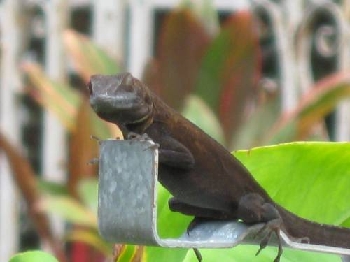 Crested Anole: Postmaster general
